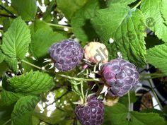 Himbeere Glen Coe (Rubus x neglectus)