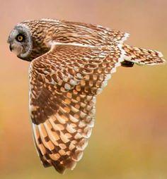 ❤❤❤ Short-Eared Owl up close 5 September 2015 ❤❤❤