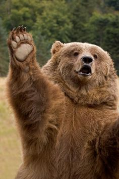 ...a 'high-five' Grizzly!