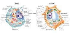 Célula procarionte e eucarionte animal e vegetal: Resumo, Esquema, Estruturas, Organelas e Funções