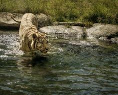 tigre de bengala Tigers, India, Animals, Bengal Tiger, Animales, Animaux, Animal, Animais, Indie