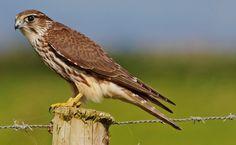 Esmerilhão (Falco columbarius)