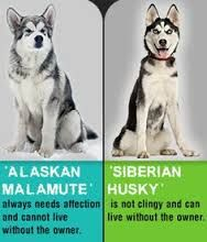 Znalezione obrazy dla zapytania husky vs wolf