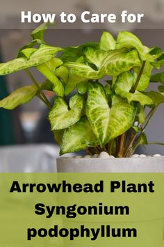 Arrowhead Vine, Arrowhead Plant, Arrow Head, Fertilizer For Plants, Lower Lights, Peat Moss, Organic Plants, Potting Soil, Plants