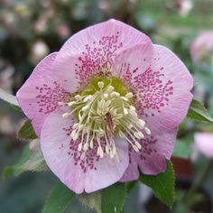 http://shop.unquadratodigiardino.it/ellebori-e-altri-fiori-invernali/595-helleborus-pretty-ellen-pink-spotted.html