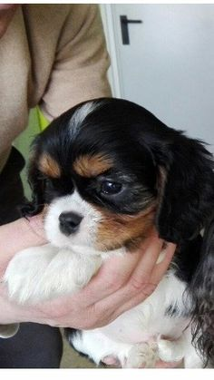 The Cavalier King Charles Spaniel is a direct descendant of the King Charles Spaniel and is named after King Charles II. The earliest appearance of this breed came in when King Charles Spaniels were mixed with Pugs. King Charles Puppy, King Charles Spaniel, Cavalier King Charles, Cute Baby Sloths, Cute Baby Animals, Spaniel Dog, Spaniels, Puppy Mix, Cute Dogs And Puppies