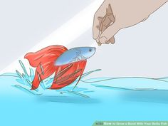 How to Grow a Bond With Your Betta Fish: 11 Steps (with Pictures) Baby Betta Fish, Beta Fish, Betta Tank, Fish Tank, Betta Aquarium, Siamese Fighting Fish, Bedroom Themes, Goldfish, Southeast Asia