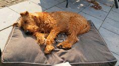 Irish Terrier taking a sunbath on the patio