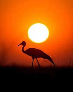 Wattled Crane photographed at sunrise in Liuwa Plain, Zambia.