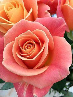 Beautiful Rose Flowers, Beautiful Flowers Wallpapers, Romantic Roses, Love Rose, All Flowers, Flowers Nature, Exotic Flowers, Amazing Flowers, Rose Reference
