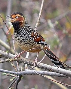 The Spotted Laughingthrush (Garrulax ocellatus) is a bird species in the Leiothrichidae family