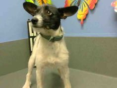 ID#A442232 I am described as a female, white and black Terrier mix mix. The shelter thinks I am about 8 months old I have been at the shelter since Oct 29, 2014 and I am available for adoption now! If you think I am your missing pet, please call or visit right away. Otherwise, please visit me in person as shelter staff are busy caring for my needs.
