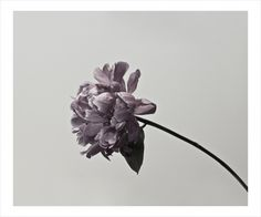 "James Lahey. Peony 2139. Ultra chrome HDR Pigment Print on 500 gsm cotton paper, 20 x 24"". Edition of 15."