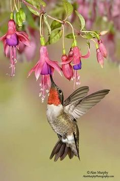 The Ruby-throated Hummingbird (Archilochus colubri) by Alan Murphy. This hummingbird breeds in Eastern United States and Eastern Canada.