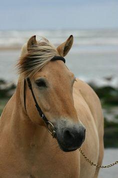 Norwegian Fjord horse.