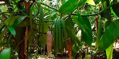 A baunilheira (Vanilla planifolia) é uma orquídea trepadeira nativa do México que pode atingir mais de 10 metros de comprimento. Seus frutos são vagens de 10 a 25 cm de comprimento e 5 a 15 mm de diâmetro, cada um contendo um grande número de minúsculas sementes. São as vagens curadas da baunilheira, inteiras ou reduzidas a pó, ou o extrato obtido delas, que compõem a baunilha natural.