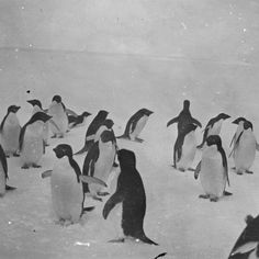 Pingviner i Antarktis / Penguins in Antarctica, - unknown animals Extraordinary People, Got Him, World Cultures, Paul Smith, Old Photos, Penguins, Norway, The Past, Old Things