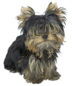 Guide for a Cut and Clipping a Yorkie Puppy