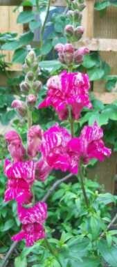 Half-hardy annuals for 2018 Antirrhinum, Rhyme And Reason, Growing Flowers, Amazing Flowers, Color Schemes, Give It To Me, Purple, Plants, R Color Palette