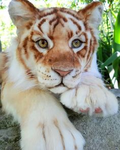 tiger cub golden Realistic wild cat Made of a luxurious Italian fur inside skeleton LOCKLINE very mobile, can sit,d Cute Wild Animals, Baby Animals Super Cute, Cute Baby Dogs, Baby Animals Pictures, Cute Little Animals, Cute Animal Pictures, Cute Funny Animals, Cute Cats, Big Cats