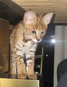 Cat, savannah cat, f1 savannah cat, exotic animals , feline, kitten,