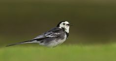 White Wagtail | by Ryan Schain