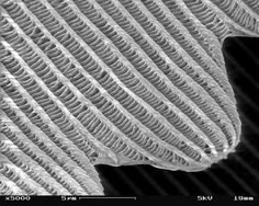 SEM_image_of_a_Peacock_wing,_slant_view_4.JPG (2560×2048)