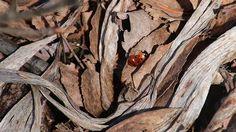Ladybugs love sunny spring days Seppo Muhonen