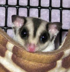 Peekaboo! Sophie Ann can see you!    Sophie Ann is a mosaic sugar glider with lots of personality to match her cute looks!