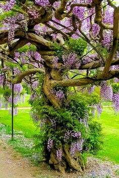 *want** Wisteria Tree. Just stake your Wisteria & keep it pruned back each year. The vine will eventually grow into a tree. I'd estimate this Wisteria tree to be over 20 years old. Beautiful World, Beautiful Gardens, Beautiful Flowers, Beautiful Pictures, Beautiful Things, Wisteria Tree, Purple Wisteria, Wisteria Garden, Chinese Wisteria