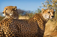 Cheetah (Acinonyx jubatus) in Namibia, July 2008 by Ignacio Palacios on 500px
