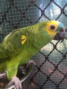 LOST AMAZON: 27/07/2017 - Rural View, Queensland, QLD, Australia. Ref#: L34140 - #ParrotAlert #LostPet #LostBird #LostParrot #MissingBird #MissingParrot #LostAmazon #MissingAmazon