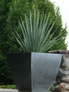 A trunk-forming yucca that grows to 12 feet tall, with minimal branching near the top. Its distinctive powder blue leaves have a pronounced spine at the tip. Do not plant near human and pet traffic. In the summer the blue foliage is complemented by a show Front Yard Garden Design, Garden Front Of House, Side Garden, Modern Landscaping, Outdoor Landscaping, Landscaping Ideas, Tall Outdoor Planters, Architectural Plants, Monrovia Plants