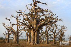 baobab - Google Search