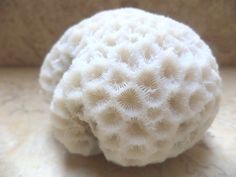 "coral brain natural round white fossil reef 85mm3.4"" red sea specimen salt water"