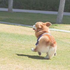 Geordi La Corgi attempting a conga line!