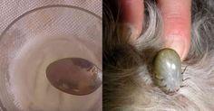 Thumb Receita natural para livrar o seu animal de estimação das pulgas e carrapatos