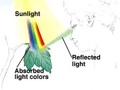 external image SB9-4.JPG diagram showing the light reflected by chlorophil