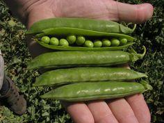 Cucumber, Camping, Vegetables, Garden, Diy, Campsite, Bricolage, Garten, Vegetable Recipes