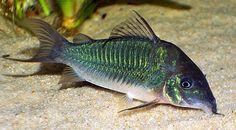 Live Tropical Aquarium Fish for Sale - Green Corydoras - Bundles - 1 - 20 Cory Catfish, Aquarium Fish For Sale, Russian Tortoise, Cichlids, Tropical Fish, Tropical Aquarium, Colorful Fish, Tortoises, Freshwater Aquarium