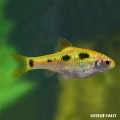 Poisson Barbus Shuberti : M (6-8cm)