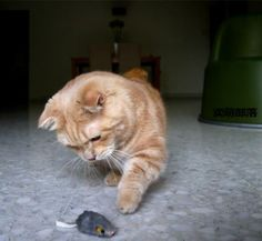 The cat caught a toy mouse