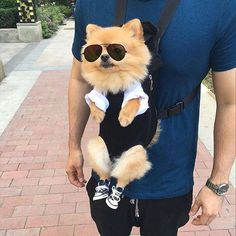 Reposted from  @hi_im_chewie Use #pompup_feature to be featured Double tap and tag your pomeranian loving friends! Dont foget to hit follow #pomeranianpuppy #pomeranianworld #justpomeranians #pomeraniansofinstagram #pomeranian #ポメラニアン #adorable #pet #petsofinstagram #pets #cuddly #animals #puppies #happiness #puppy #puppyoftheday #puppylove #cutepuppy #dog #dogs #dogstagram  #instadog #dogoftheday