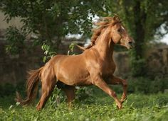 Kathiawadi Horse India great warhorse known for speed and agility as well as undying loyalty to their riders
