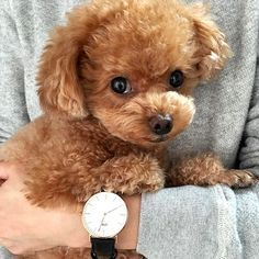 "Visit our web site for even more information on ""poodle puppies"". It is actually an exceptional area to get more information. I Love Dogs, Cute Dogs, Poodle Cuts, Tea Cup Poodle, Jolie Photo, Dogs And Puppies, Toy Poodle Puppies, Toy Poodles, Doggies"