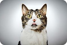Jerry by Richard Phibbs.  He is a tabby and white cat available for adoption at the Humane Society of New York.