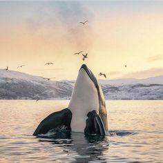 Orcas in Tromsø, Norway