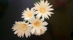 Daisy paper flower - Hướng dẫn làm hoa cúc