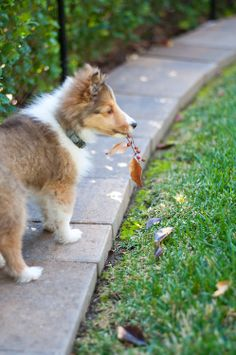"""TYBALT -- Born near the """"glorious"""" city of Sacramento, CA in July of Tybalt is a quirky, cute and kind of hyper Shetland Sheepdog, though he has since settled down a bit. Rough Collie, Collie Dog, Kittens And Puppies, Cute Puppies, Pet Dogs, Pets, Doggies, Baby Animals, Cute Animals"""