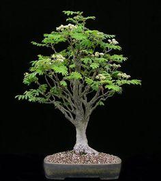 European Mountain-Ash (Sorbus aucuparia) aka Rowan